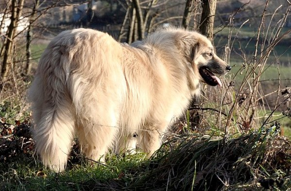 Sarplaninac ou chien de berger yougoslave