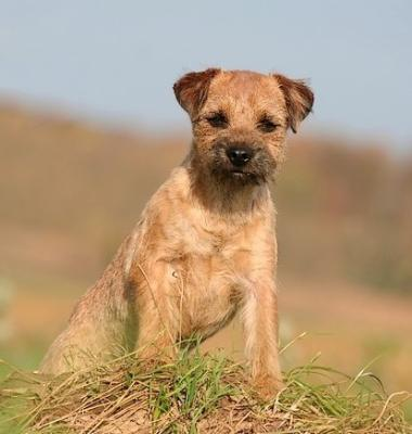 club de race border terrier