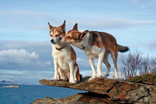 Chien norvégien de macareux ou lundehund