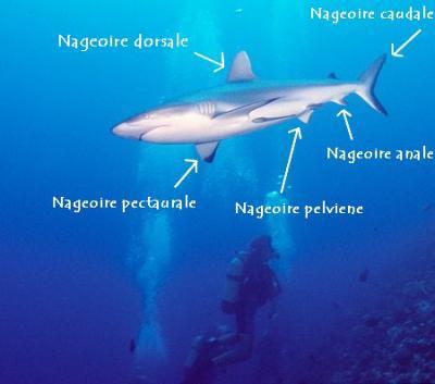 La morphologie du requin