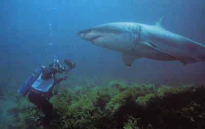 Oui c'est un requin blanc
