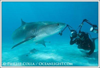 Requin Tigre( Galeocerdo cuvier )