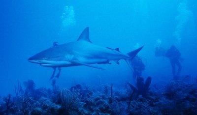 Requin bleu des recifs