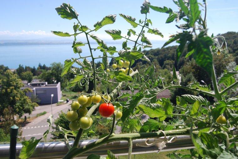 la vue et mes tomates