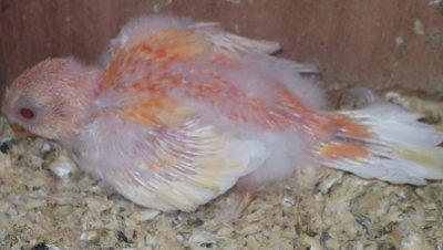 psephotus haematonotus