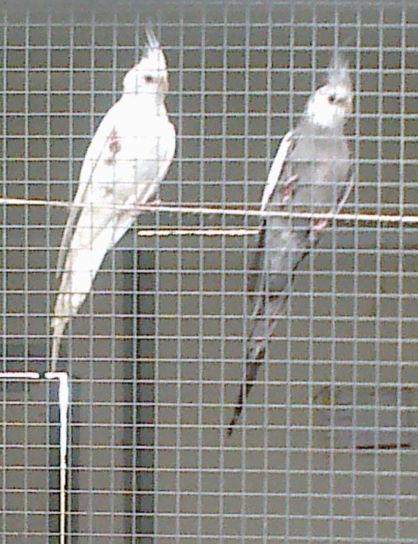 calopsitte albino + grise face blanche