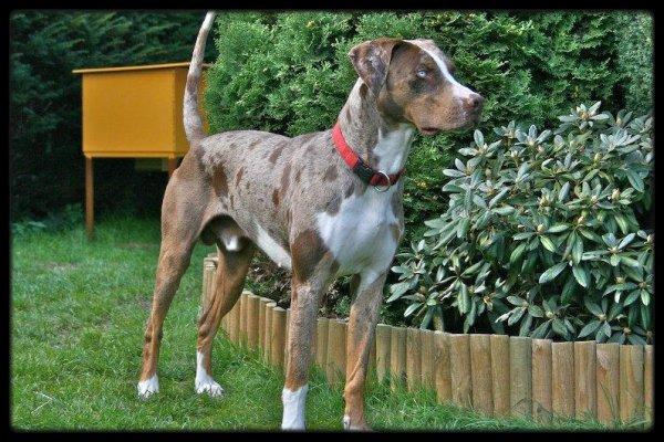 Section découverte : Catahoula Léopard Dog