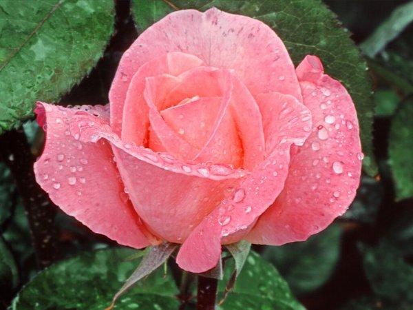 Texte brouillon 1 : thème : le mot rose.