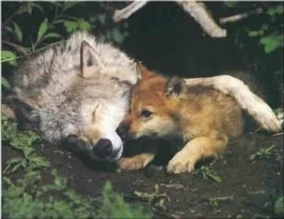La louve et son louveteau