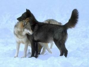 2 loups (enfin 3!)