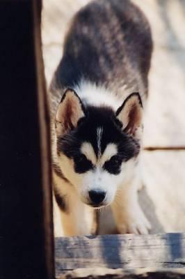 Différence Husky/Alaskan Malamute