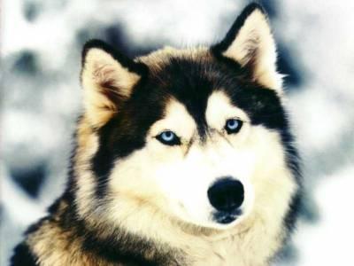 Une belle tête d'Husky