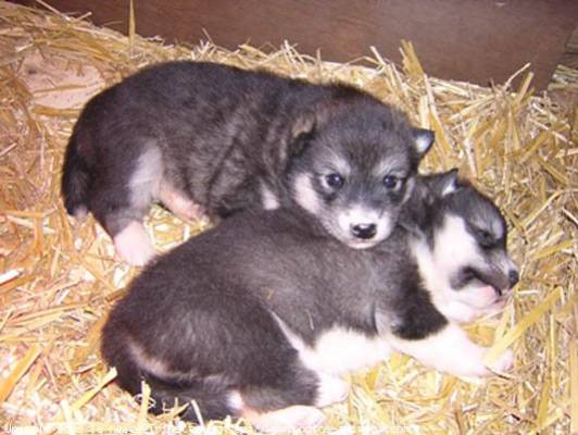 Les husky, Alaskan Malamute et les loups