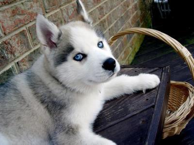 Voila mon chien sam Huski
