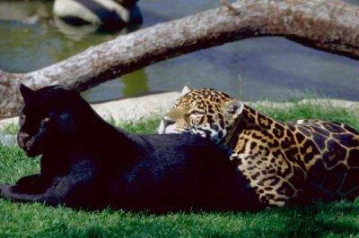 blog de passion felins blog de passion felins. Black Bedroom Furniture Sets. Home Design Ideas