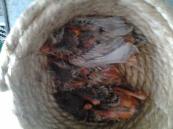 Cria 2012 Nuevos Pollos 2