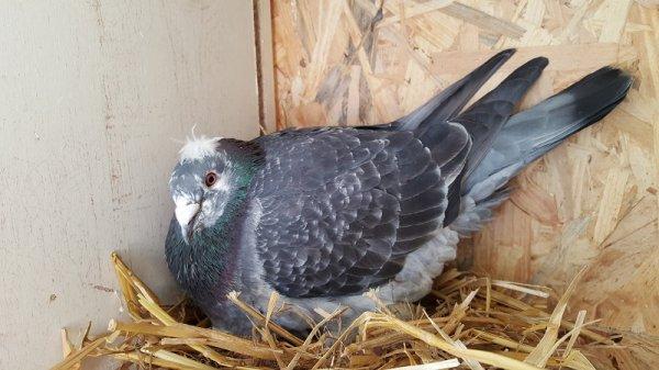 Nouveau style, même chez les pigeons apparemment !