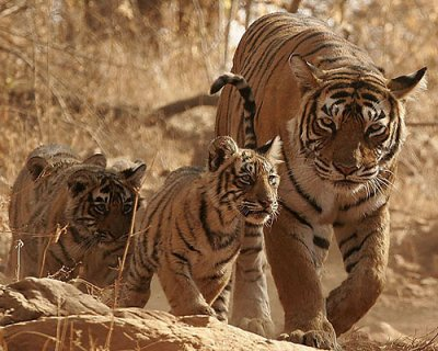Tigresse avec ses petits