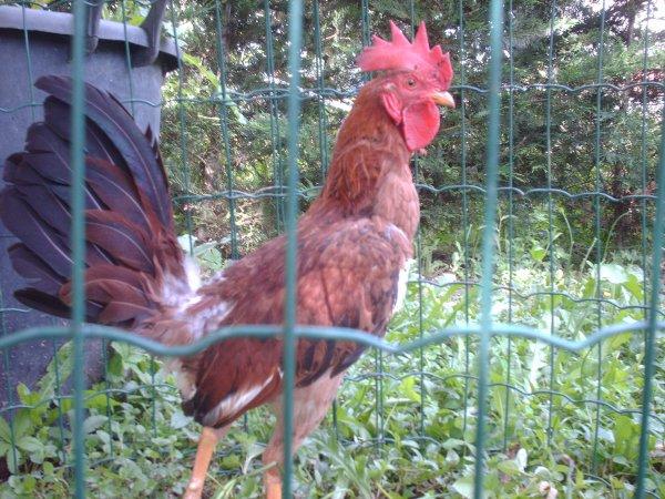 Mon galino de chez bebepout !