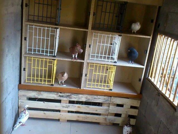 pigeonnier reproducteur