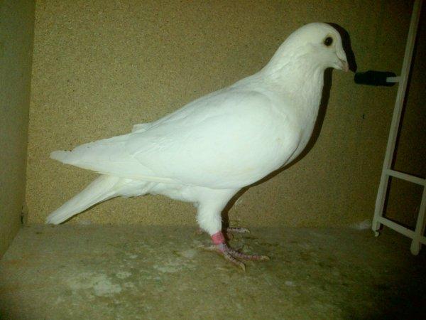mâle blanc