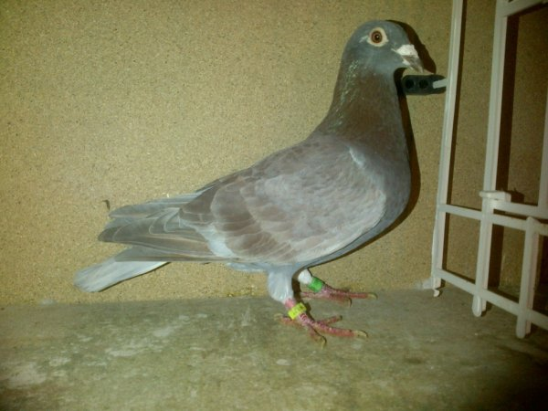 mâle chocolat( indigo)