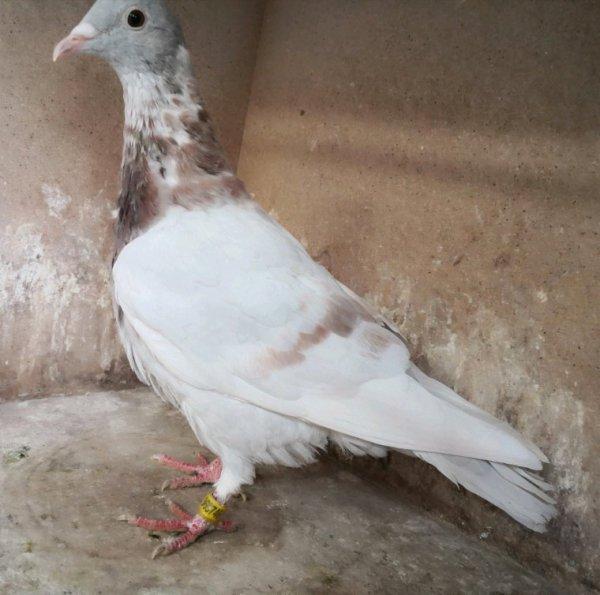 Vente tolal de mes pigeons
