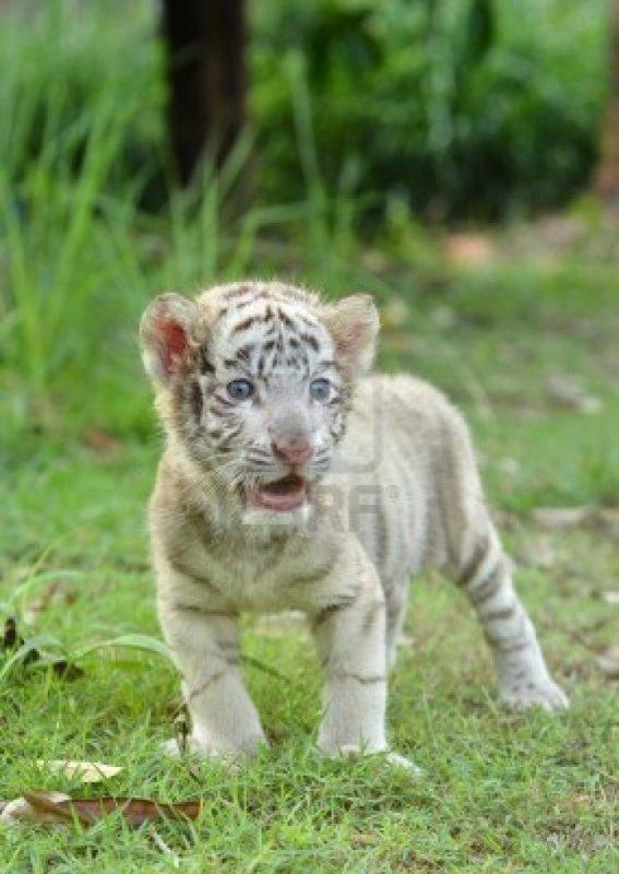 B b tigre blanc blog de tigre777 - Bebe tigre mignon ...