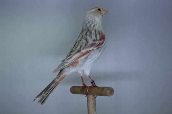 agate pastel rouge mosaïque femelle
