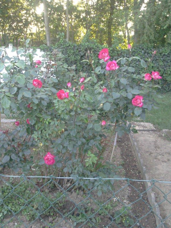 les reines de mon jardin