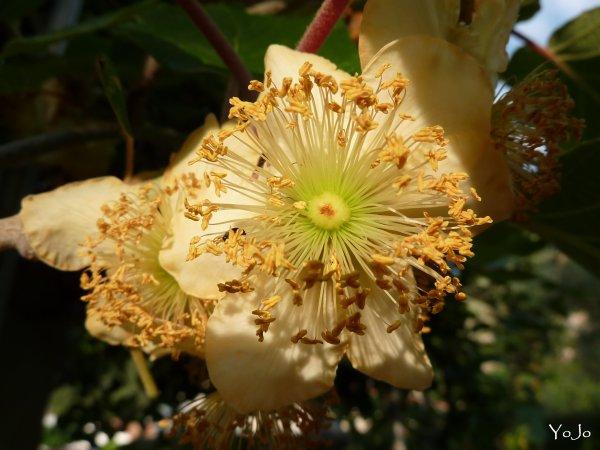°- Fleur de kiwi me voici -°