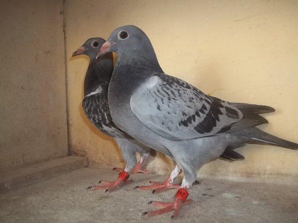 mais deux nouveaux jeune que jais reserve a patte meiller il seront dans mon pigeonnier samedi