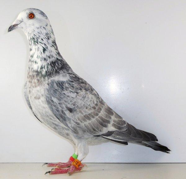mais pigeon de cher roger tantart