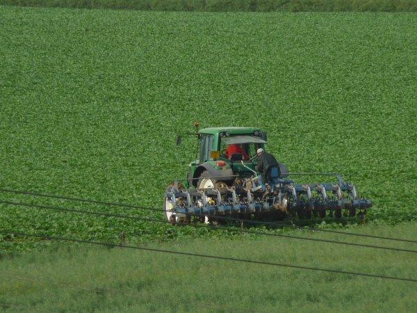 Dans les champs, binage des betteraves