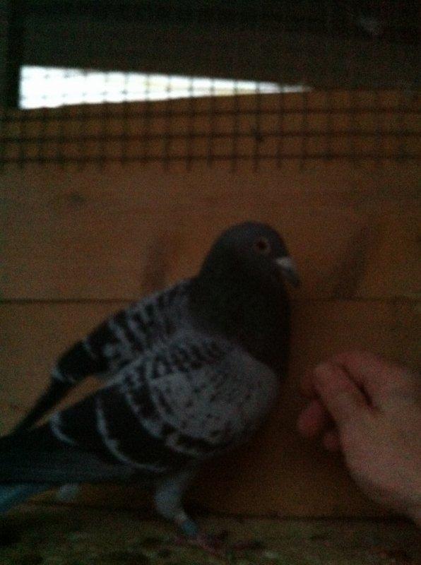 encore un magnifique pigeon