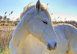 Un très beau cheval Camarguais!