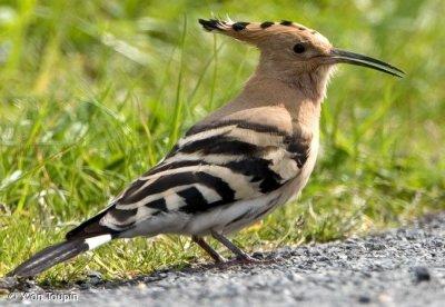 La huppe fasci e blog de amoureux de la nature 39 for Oiseau orange et noir