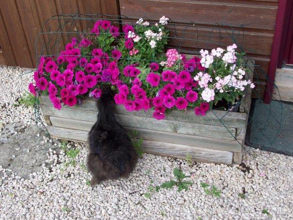 que faire au jardin, quand on est une poulette active ?