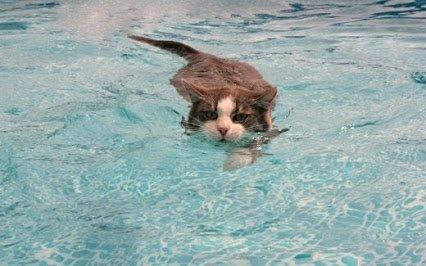 qui dit que les chat n'aime pas l'eau