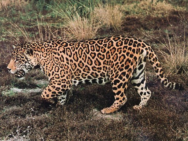Jagouar