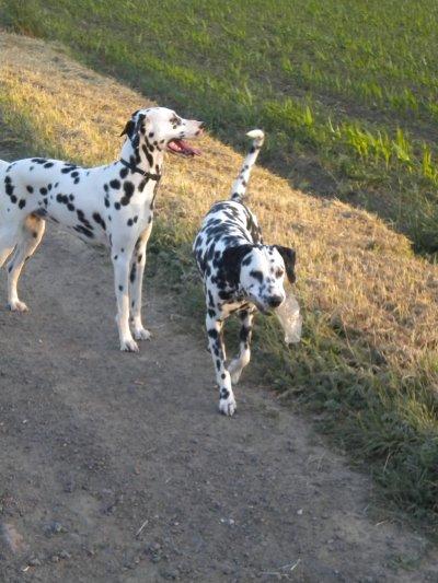 mes deux dalmatiens