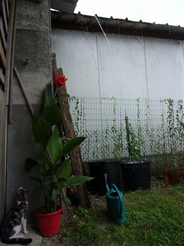 évolution de la fleur de bananier que j'ai pu mettre à l'abri de la pluie et de l'orage , à suivre