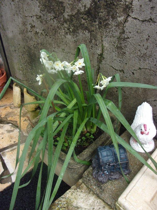 le printemps  est là??? photos faites hier! les fleurs de framboises donneront elles des fruits?
