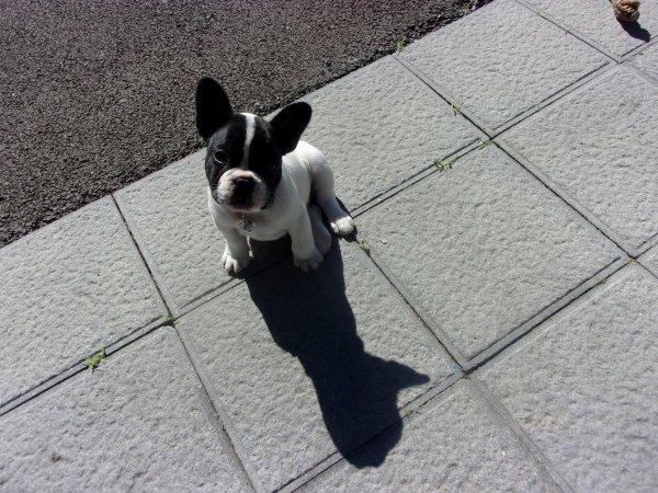 voici pourquoi j'ai crocheté un bulldog français!!! Pablo, deux mois est arrivé à la maison qui était bien vide depuis novembre dernier , quand notre boxer nous a quitté, un an après sa compagne de 10 ans!