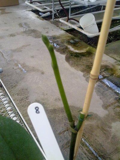 Evolution d'une nouvelle hampe florale à partir d'une ancienne cassée