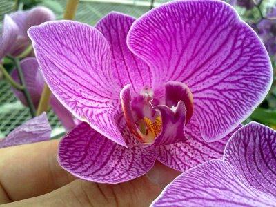 l' hybridation de mes orchidées