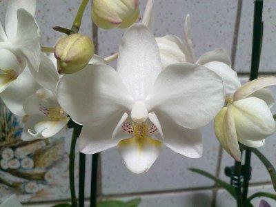 mes mini phalaenopsis