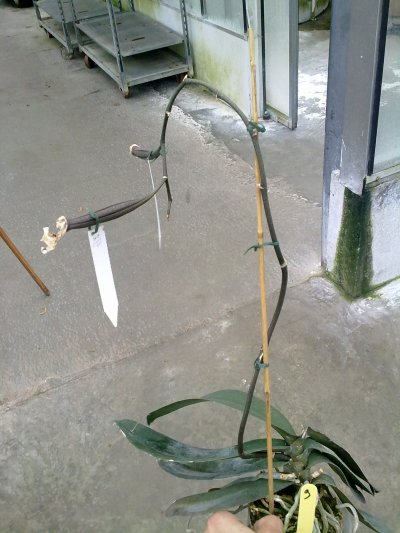 Une gousse de phalaenopsis