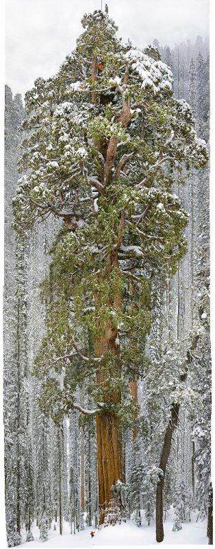 Le Président: un séquoia géant estimé à plus de 3.200 ans.