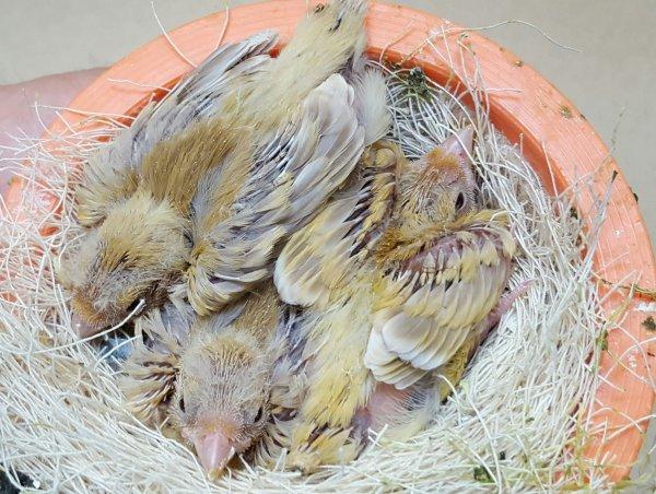 Erste Jungvögel Isabell gelb